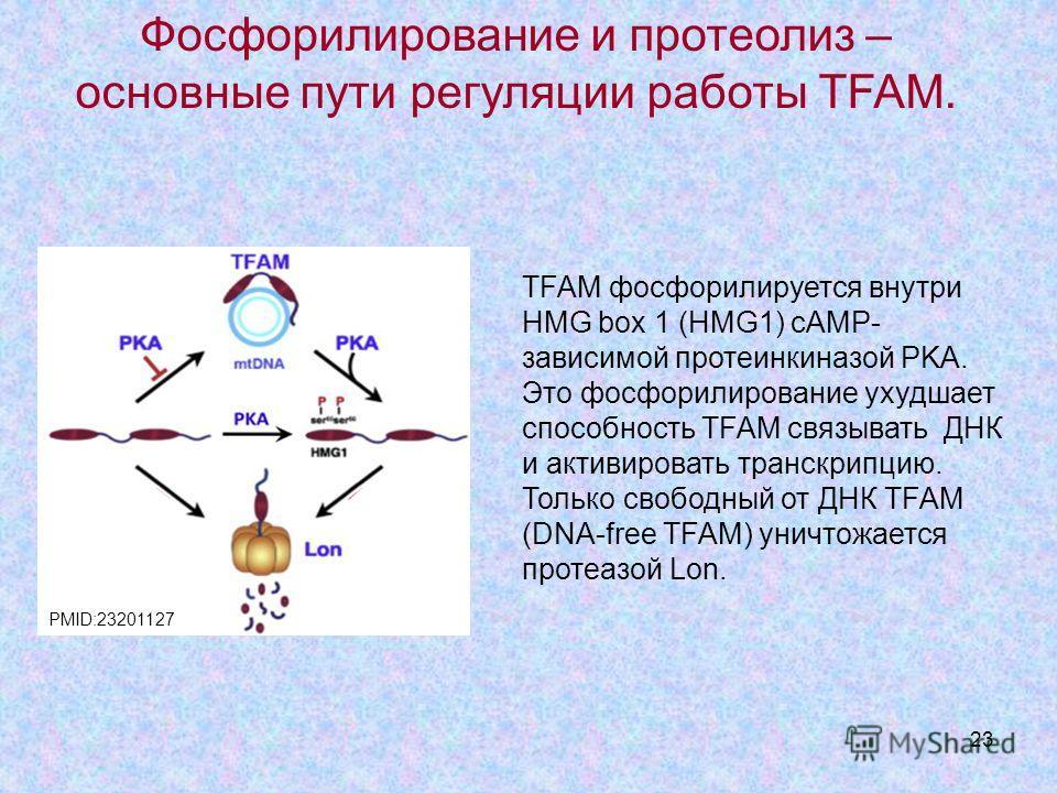 23 TFAM фосфорилируется внутри HMG box 1 (HMG1) cAMP- зависимой протеинкиназой PKA. Это фосфорилирование ухудшает способность TFAM связывать ДНК и активировать транскрипцию. Только свободный от ДНК TFAM (DNA-free TFAM) уничтожается протеазой Lon. Фос