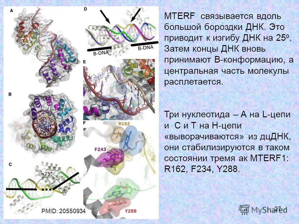 27 MTERF связывается вдоль большой бороздки ДНК. Это приводит к изгибу ДНК на 25 о. Затем концы ДНК вновь принимают В-конформацию, а центральная часть молекулы расплетается. Три нуклеотида – А на L-цепи и С и Т на Н-цепи «выворачиваются» из дцДНК, он