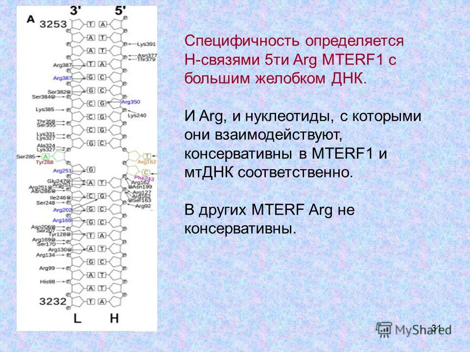 31 Специфичность определяется Н-связями 5ти Arg MTERF1 с большим желобком ДНК. И Arg, и нуклеотиды, с которыми они взаимодействуют, консервативны в MTERF1 и мтДНК соответственно. В других MTERF Arg не консервативны.