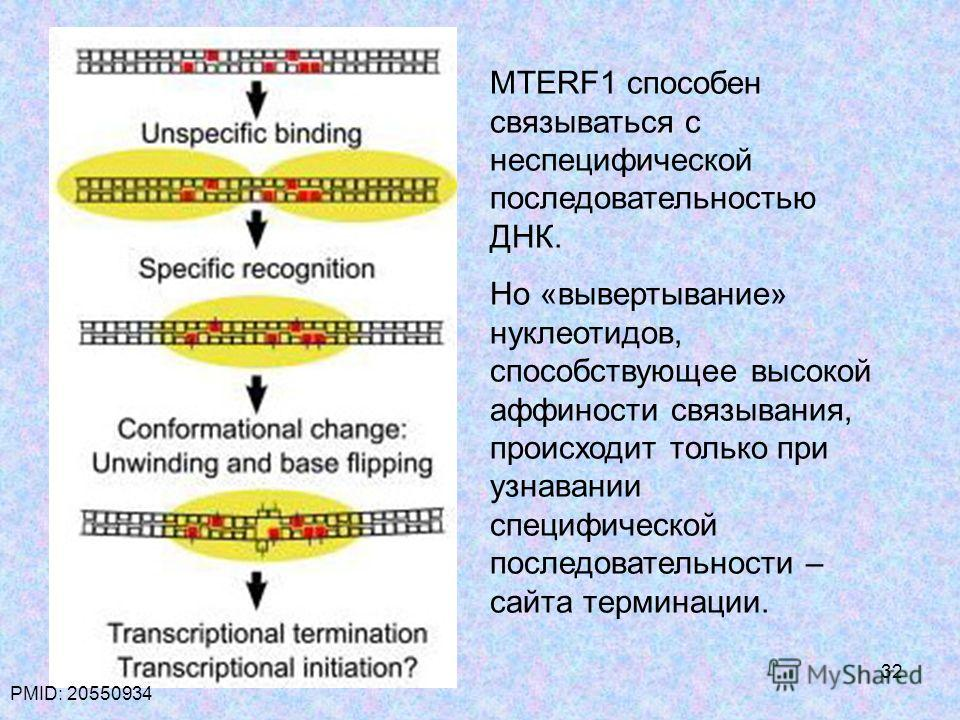 32 MTERF1 способен связываться с неспецифической последовательностью ДНК. Но «вывертывание» нуклеотидов, способствующее высокой аффиности связывания, происходит только при узнавании специфической последовательности – сайта терминации. PMID: 20550934