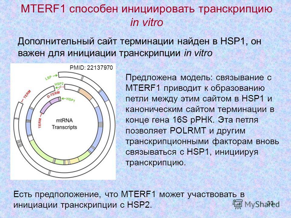 33 Предложена модель: связывание с MTERF1 приводит к образованию петли между этим сайтом в HSP1 и каноническим сайтом терминации в конце гена 16S рРНК. Эта петля позволяет POLRMT и другим транскрипционными факторам вновь связываться с HSP1, инициируя