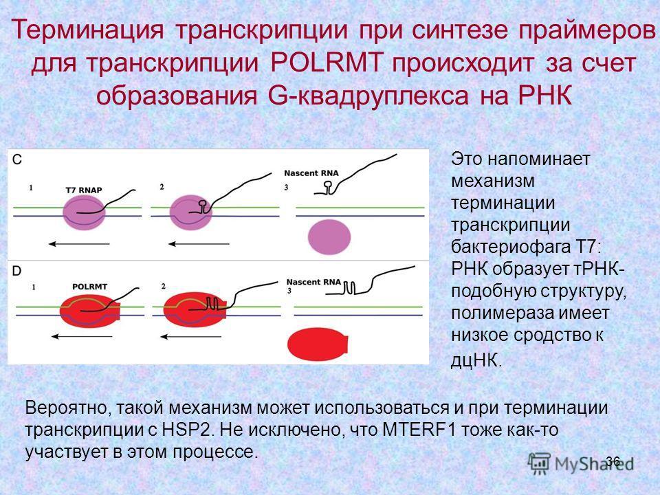 36 Это напоминает механизм терминации транскрипции бактериофага Т7: РНК образует тРНК- подобную структуру, полимераза имеет низкое сродство к дцНК. Терминация транскрипции при синтезе праймеров для транскрипции POLRMT происходит за счет образования G