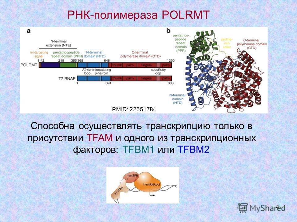 4 PMID: 22551784 РНК-полимераза POLRMT Способна осуществлять транскрипцию только в присутствии TFAM и одного из транскрипционных факторов: TFBM1 или TFBM2