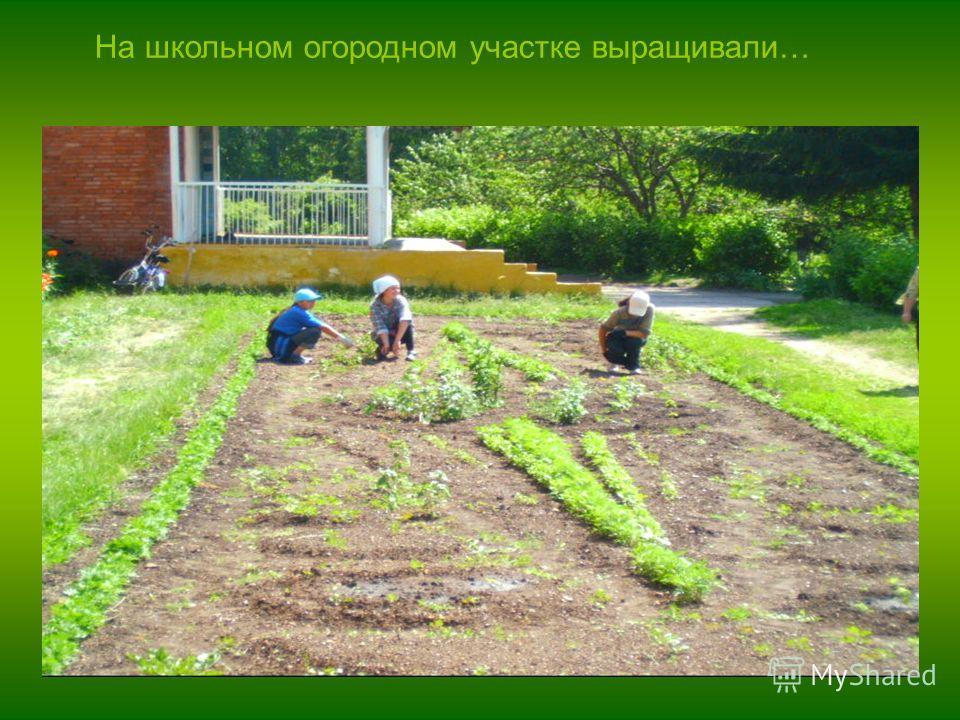 На школьном огородном участке выращивали…