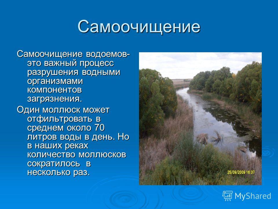 Самоочищение Самоочищение водоемов- это важный процесс разрушения водными организмами компонентов загрязнения. Один моллюск может отфильтровать в среднем около 70 литров воды в день. Но в наших реках количество моллюсков сократилось в несколько раз.