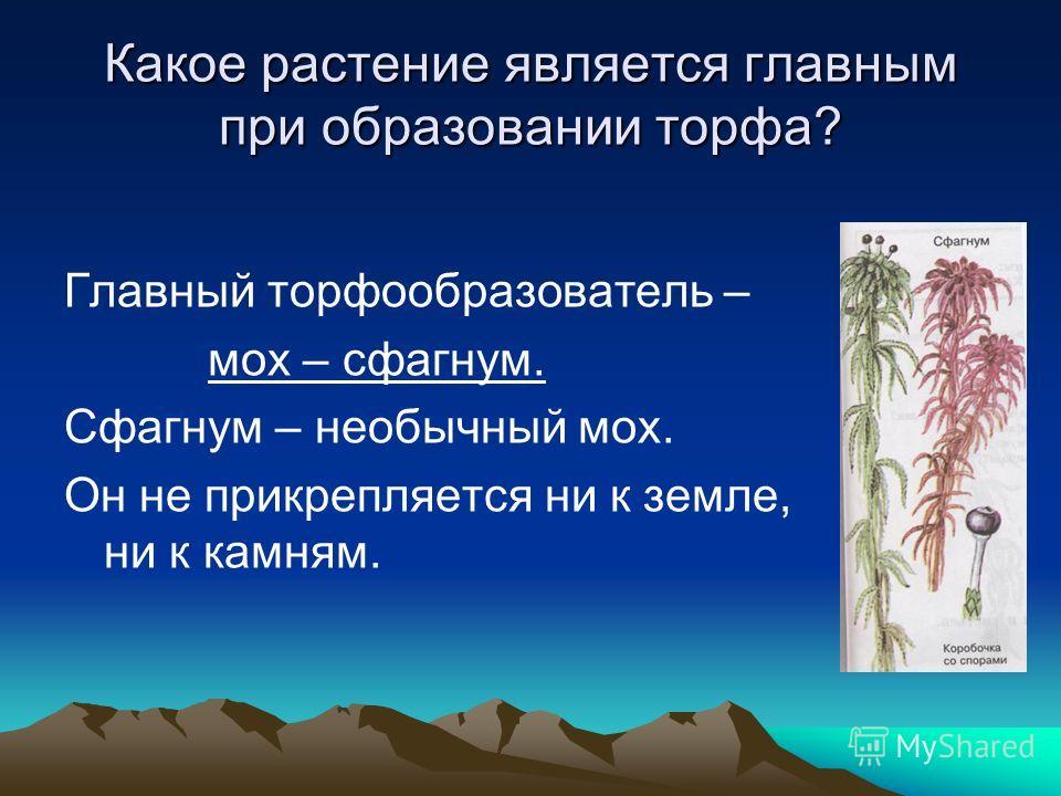 Какое растение является главным при образовании торфа? Главный торфообразователь – мох – сфагнум. Сфагнум – необычный мох. Он не прикрепляется ни к земле, ни к камням.