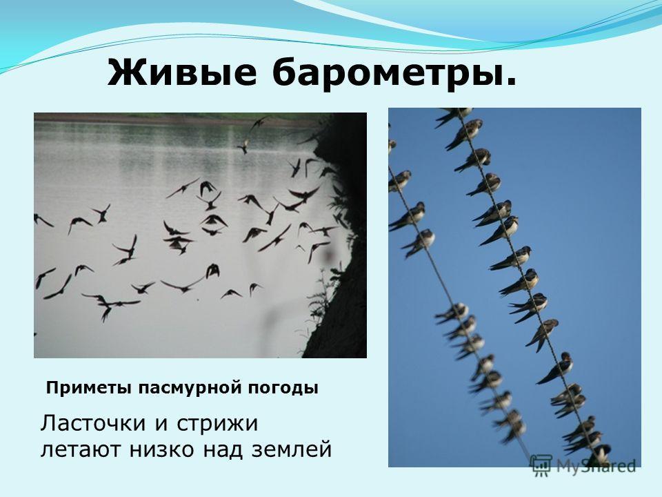 Живые барометры. Ласточки и стрижи летают низко над землей Приметы пасмурной погоды
