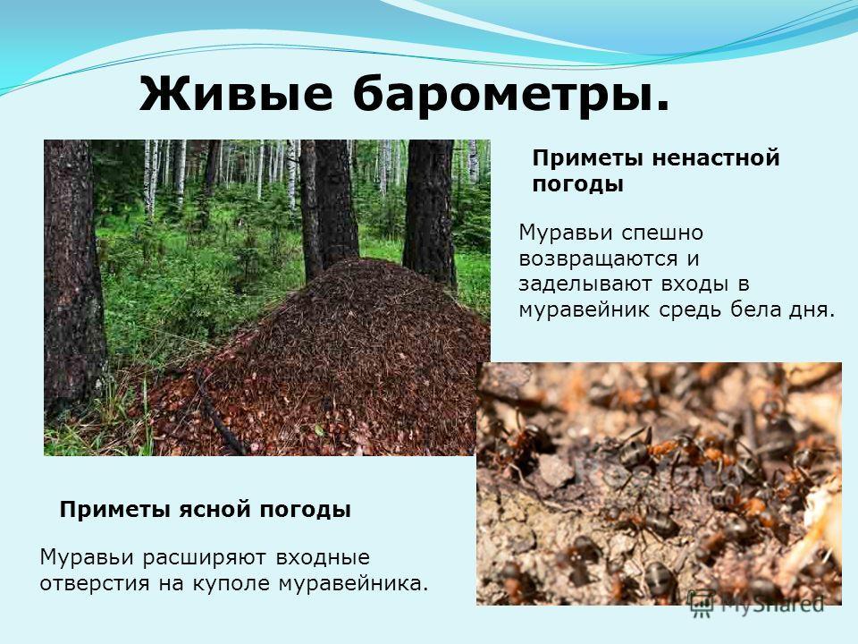Живые барометры. Муравьи расширяют входные отверстия на куполе муравейника. Приметы ясной погоды Приметы ненастной погоды Муравьи спешно возвращаются и заделывают входы в муравейник средь бела дня.