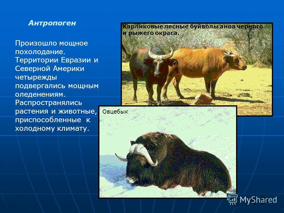 Антропоген Произошло мощное похолодание. Территории Евразии и Северной Америки четырежды подвергались мощным оледенениям. Распространялись растения и животные, приспособленные к холодному климату. Карликовые лесные буйволы аноа черного и рыжего окрас
