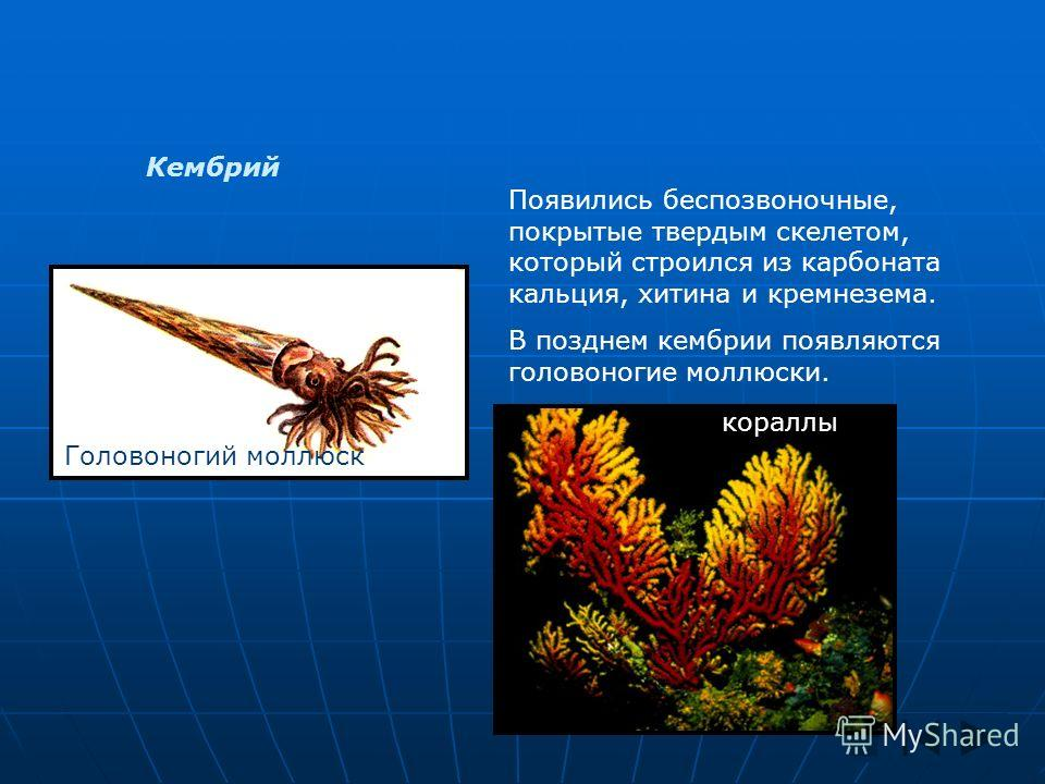 Кембрий Появились беспозвоночные, покрытые твердым скелетом, который строился из карбоната кальция, хитина и кремнезема. В позднем кембрии появляются головоногие моллюски. Головоногий моллюск кораллы