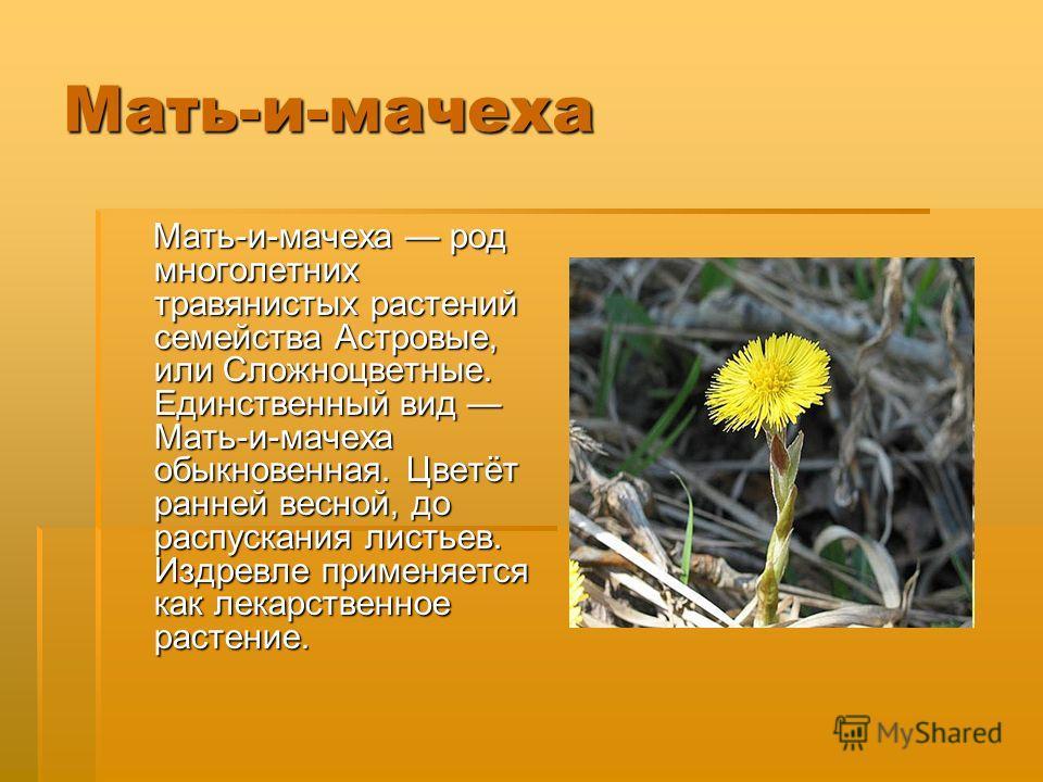 Мать-и-мачеха Мать-и-мачеха род многолетних травянистых растений семейства Астровые, или Сложноцветные. Единственный вид Мать-и-мачеха обыкновенная. Цветёт ранней весной, до распускания листьев. Издревле применяется как лекарственное растение. Мать-и
