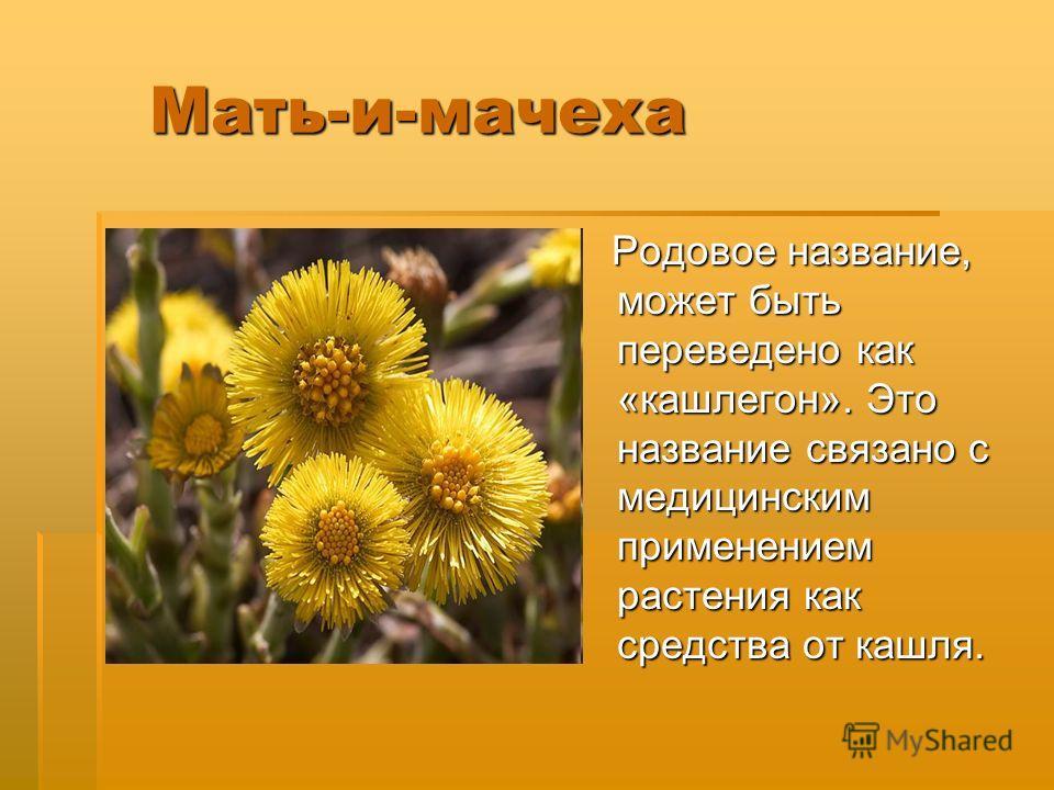 Мать-и-мачеха Мать-и-мачеха Родовое название, может быть переведено как «кашлегон». Это название связано с медицинским применением растения как средства от кашля. Родовое название, может быть переведено как «кашлегон». Это название связано с медицинс