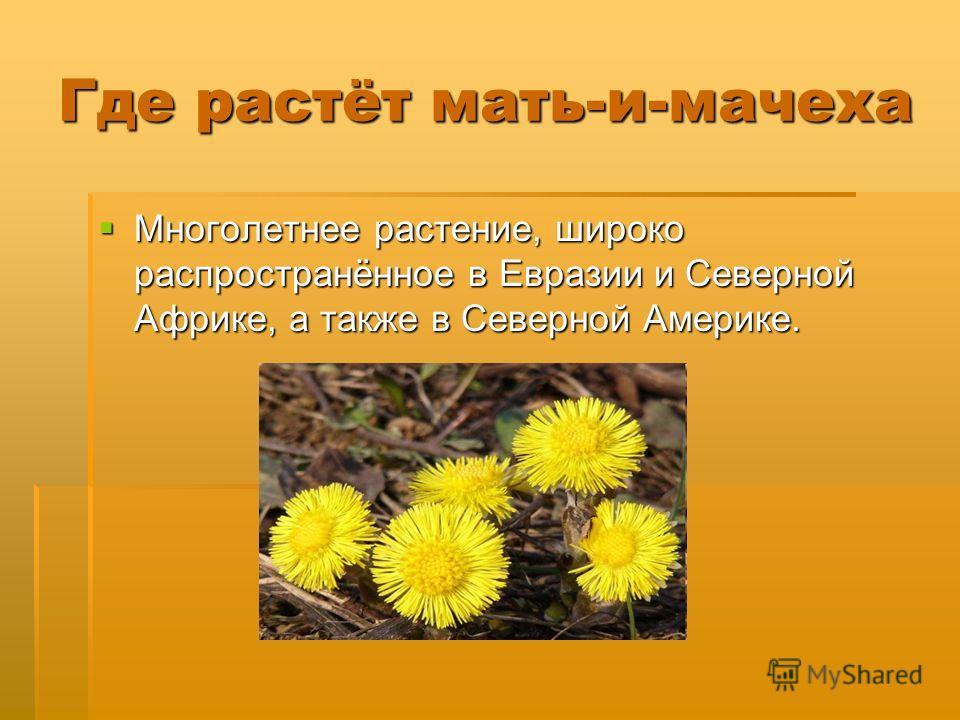 Где растёт мать-и-мачеха Многолетнее растение, широко распространённое в Евразии и Северной Африке, а также в Северной Америке. Многолетнее растение, широко распространённое в Евразии и Северной Африке, а также в Северной Америке.