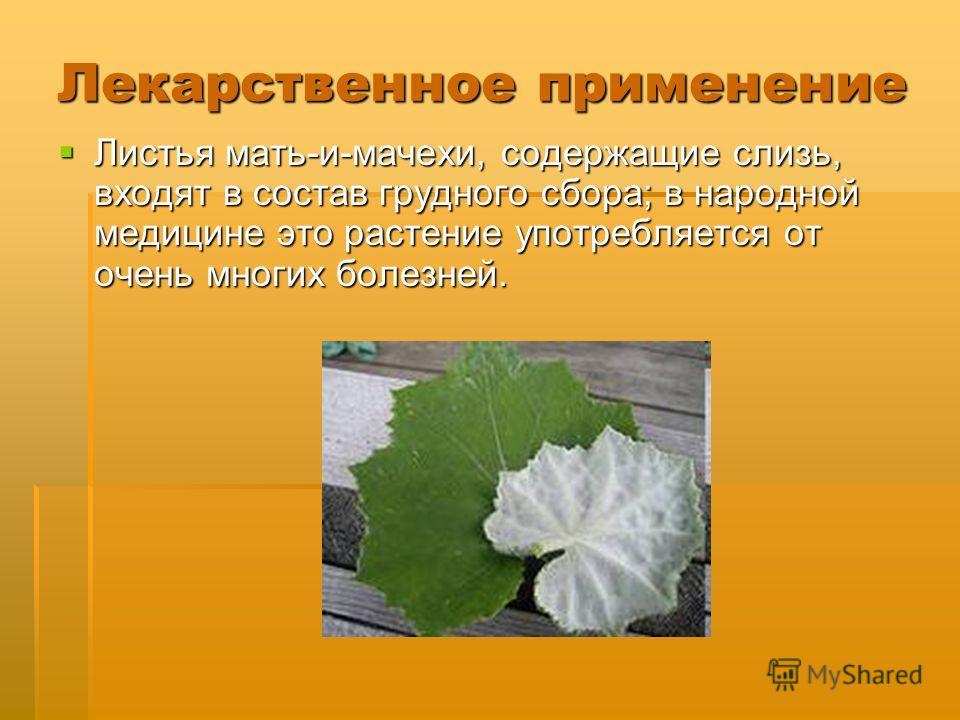 Лекарственное применение Листья мать-и-мачехи, содержащие слизь, входят в состав грудного сбора; в народной медицине это растение употребляется от очень многих болезней. Листья мать-и-мачехи, содержащие слизь, входят в состав грудного сбора; в народн
