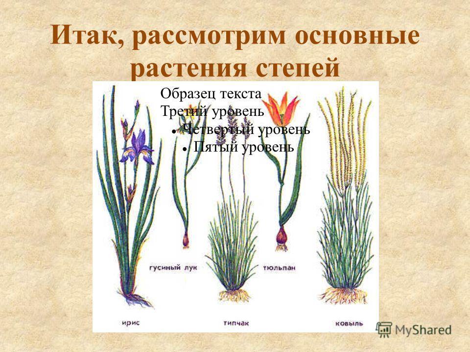Итак, рассмотрим основные растения степей Образец текста Третий уровень Четвертый уровень Пятый уровень