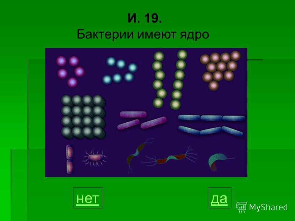 И. 19. Бактерии имеют ядро данет