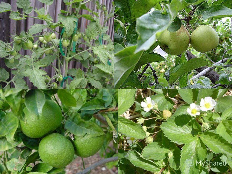 Плоды бывают разные: некоторые с мякотью – такие как вишня или ягоды ежевики, а бывают без мякоти, например, орех.