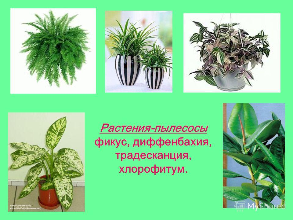 Растения-пылесосы фикус, диффенбахия, традесканция, хлорофитум.