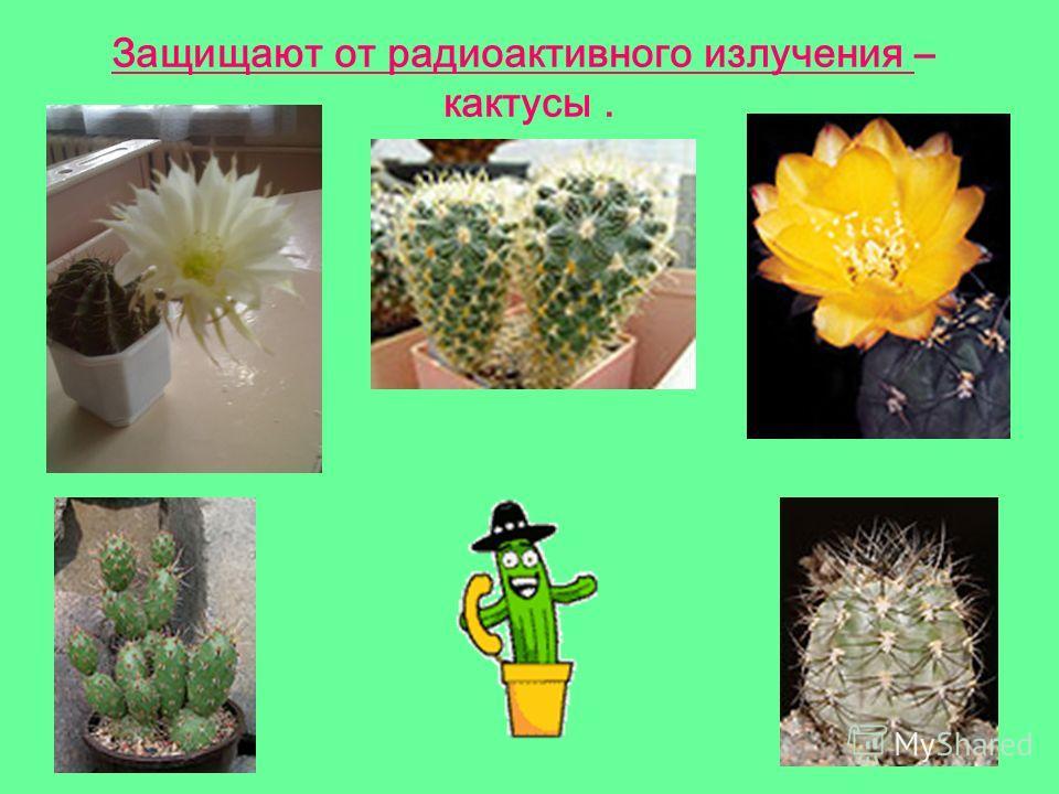 Защищают от радиоактивного излучения – кактусы.
