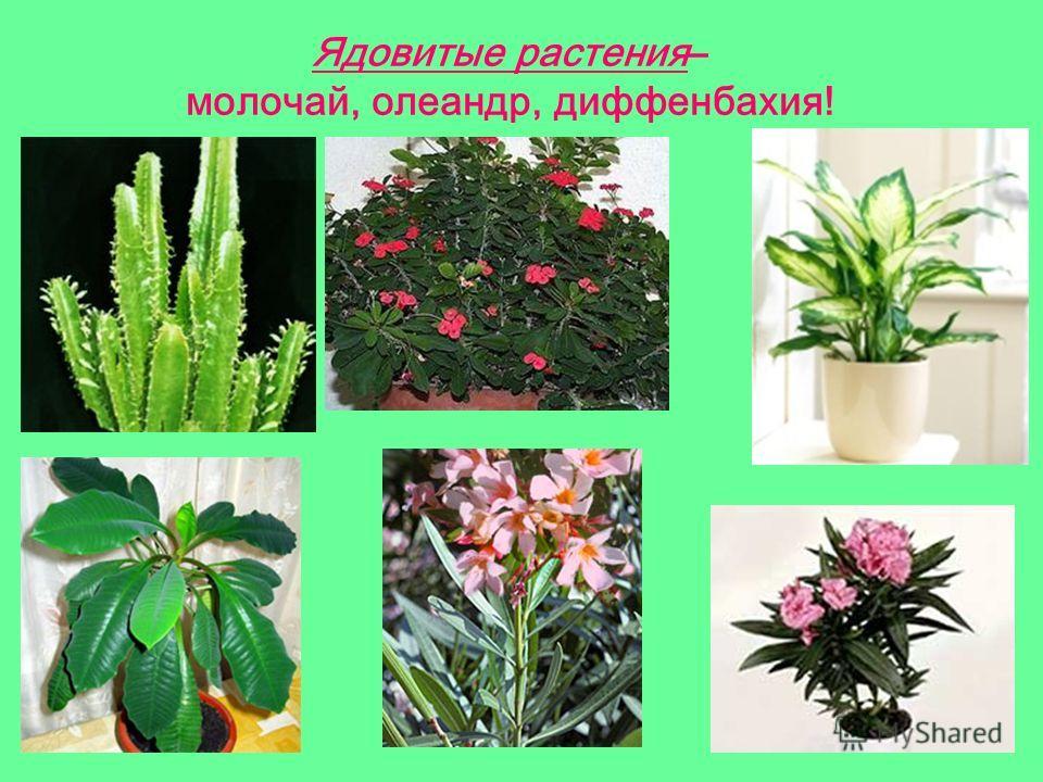 Ядовитые растения– молочай, олеандр, диффенбахия!