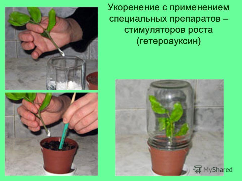 Укоренение с применением специальных препаратов – стимуляторов роста (гетероауксин)