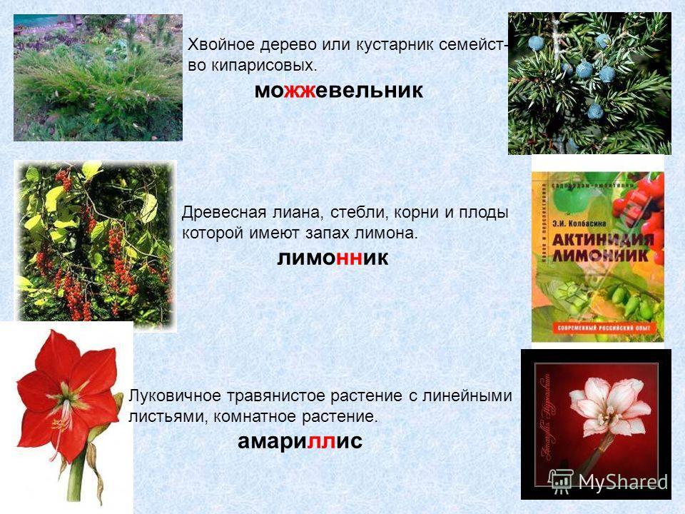 Хвойное дерево или кустарник семейст- во кипарисовых. можжевельник Древесная лиана, стебли, корни и плоды которой имеют запах лимона. лимонник Луковичное травянистое растение с линейными листьями, комнатное растение. амариллис
