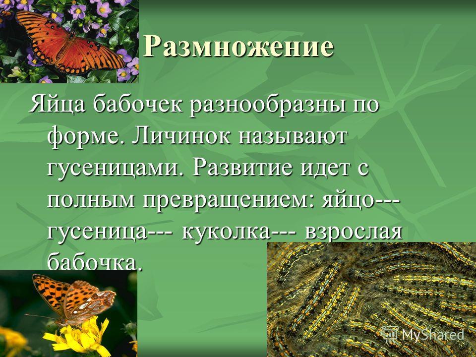 Размножение Яйца бабочек разнообразны по форме. Личинок называют гусеницами. Развитие идет с полным превращением: яйцо--- гусеница--- куколка--- взрослая бабочка.