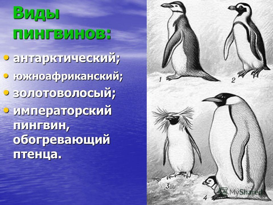 Виды пингвинов: антарктический; антарктический; южноафриканский; южноафриканский; золотоволосый; золотоволосый; императорский пингвин, обогревающий птенца. императорский пингвин, обогревающий птенца.