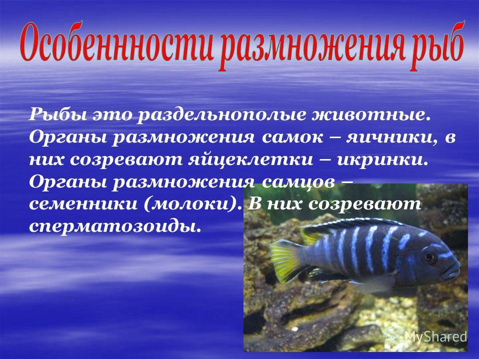 Рыбы это раздельнополые животные. Органы размножения самок – яичники, в них созревают яйцеклетки – икринки. Органы размножения самцов – семенники (молоки). В них созревают сперматозоиды.