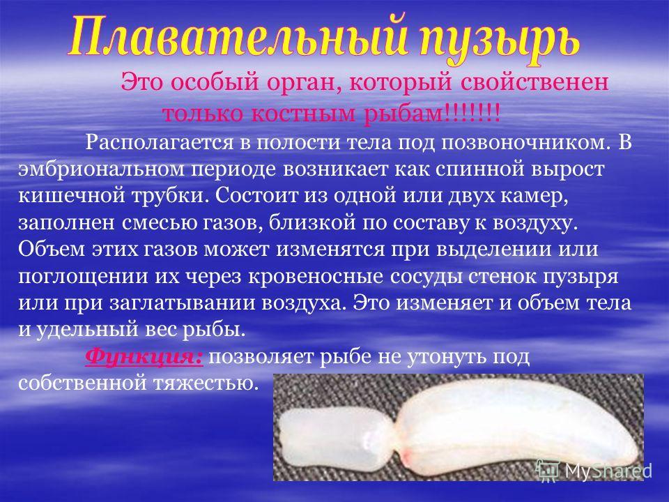 Это особый орган, который свойственен только костным рыбам!!!!!!! Располагается в полости тела под позвоночником. В эмбриональном периоде возникает как спинной вырост кишечной трубки. Состоит из одной или двух камер, заполнен смесью газов, близкой по