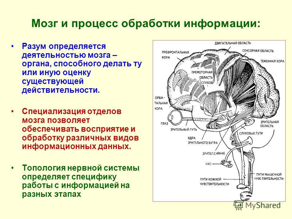 Мозг и процесс обработки информации: Разум определяется деятельностью мозга – органа, способного делать ту или иную оценку существующей действительности. Специализация отделов мозга позволяет обеспечивать восприятие и обработку различных видов информ