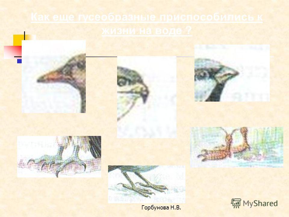 Горбунова Н.В. Как еще гусеобразные приспособились к жизни на воде ?