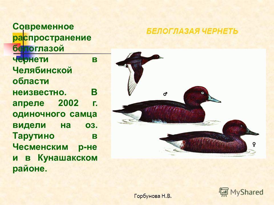 Горбунова Н.В. БЕЛОГЛАЗАЯ ЧЕРНЕТЬ Современное распространение белоглазой чернети в Челябинской области неизвестно. В апреле 2002 г. одиночного самца видели на оз. Тарутино в Чесменским р-не и в Кунашакском районе.
