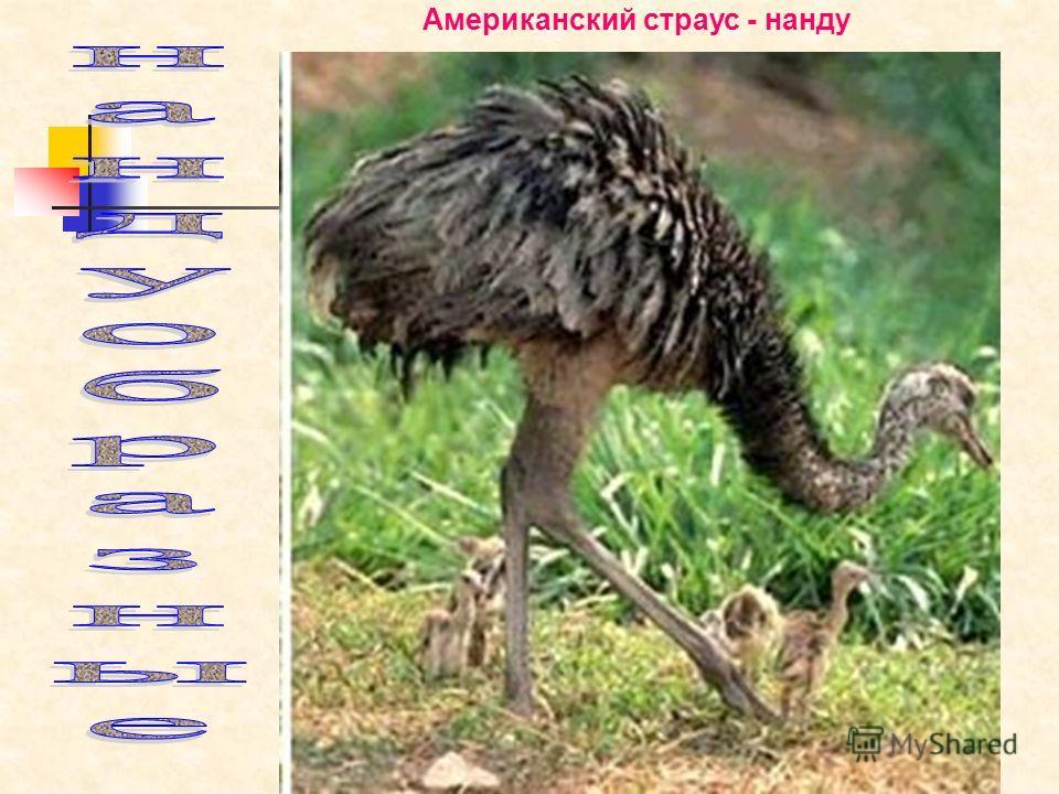 Горбунова Н.В. Американский страус - нанду