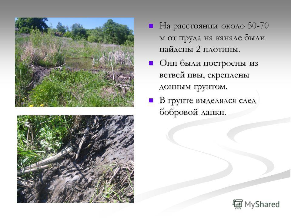 На расстоянии около 50-70 м от пруда на канале были найдены 2 плотины. Они были построены из ветвей ивы, скреплены донным грунтом. В грунте выделялся след бобровой лапки.