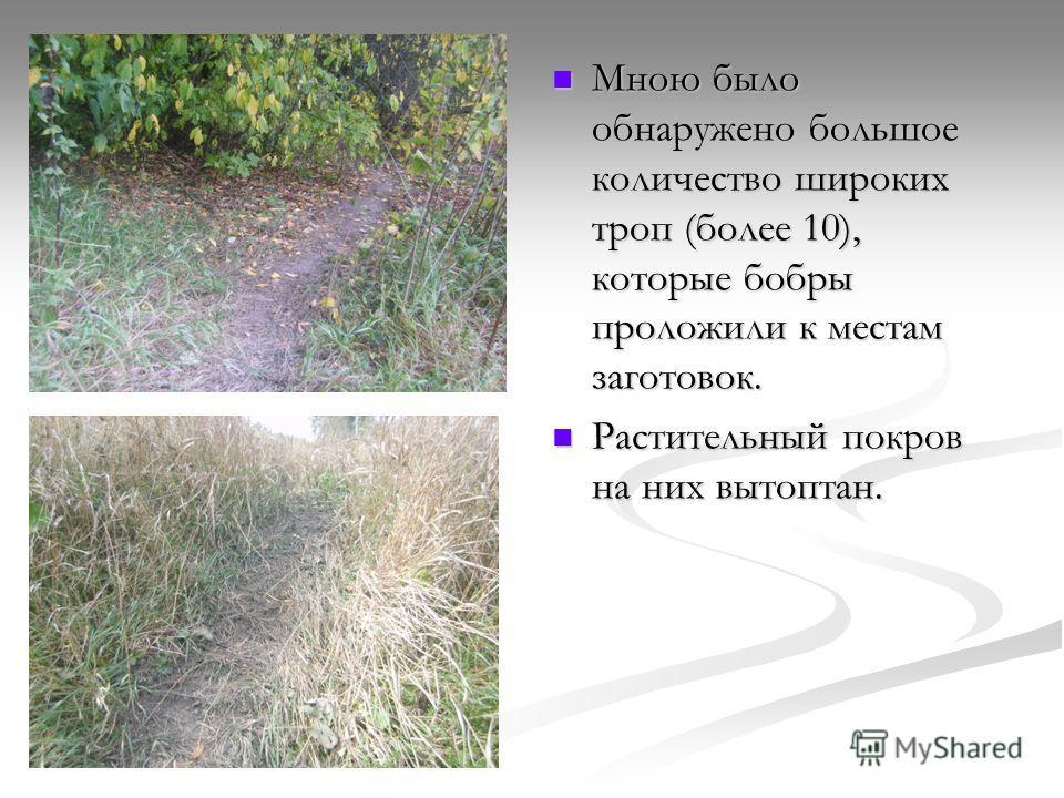 Мною было обнаружено большое количество широких троп (более 10), которые бобры проложили к местам заготовок. Растительный покров на них вытоптан.