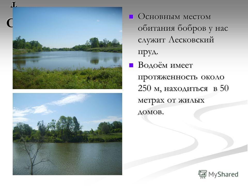 От От От От Основным местом обитания бобров у нас служит Лесковский пруд. Водоём имеет протяженность около 250 м, находиться в 50 метрах от жилых домов.