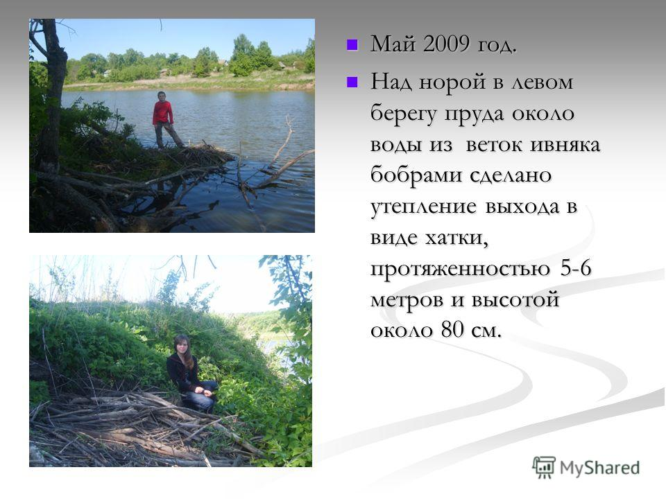 Май 2009 год. Над норой в левом берегу пруда около воды из веток ивняка бобрами сделано утепление выхода в виде хатки, протяженностью 5-6 метров и высотой около 80 см.