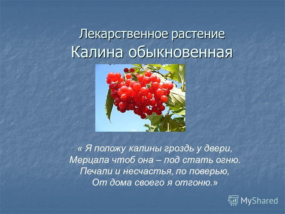 Лекарственное растение Калина обыкновенная « Я положу калины гроздь у двери, Мерцала чтоб она – под стать огню. Печали и несчастья, по поверью, От дома своего я отгоню.»