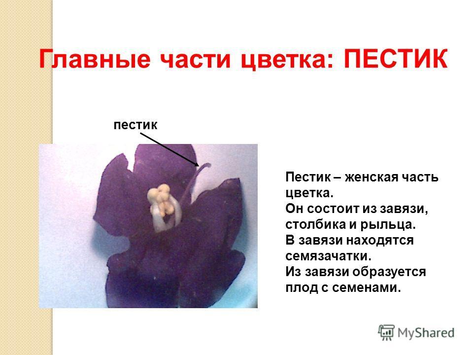 Главные части цветка: ПЕСТИК пестик Пестик – женская часть цветка. Он состоит из завязи, столбика и рыльца. В завязи находятся семязачатки. Из завязи образуется плод с семенами.