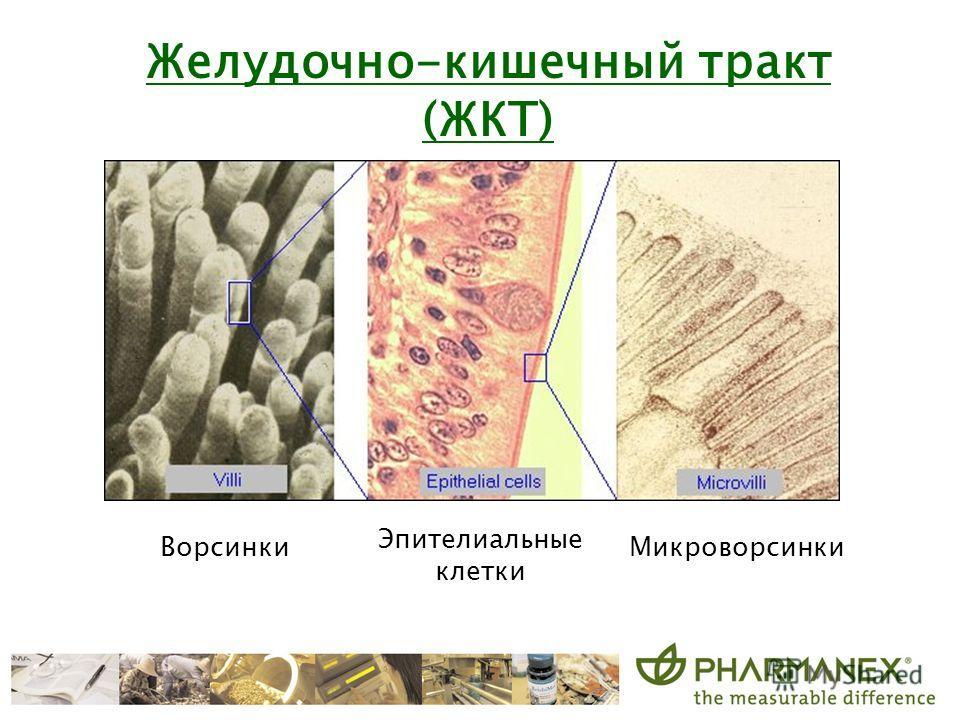 Ворсинки Эпителиальные клетки Микроворсинки Желудочно-кишечный тракт (ЖКТ)