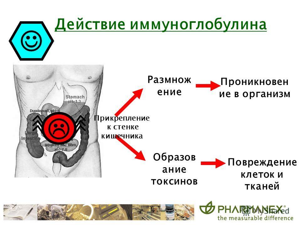 Действие иммуноглобулина Прикрепление к стенке кишечника Размнож ение Проникновен ие в организм Образов ание токсинов Повреждение клеток и тканей