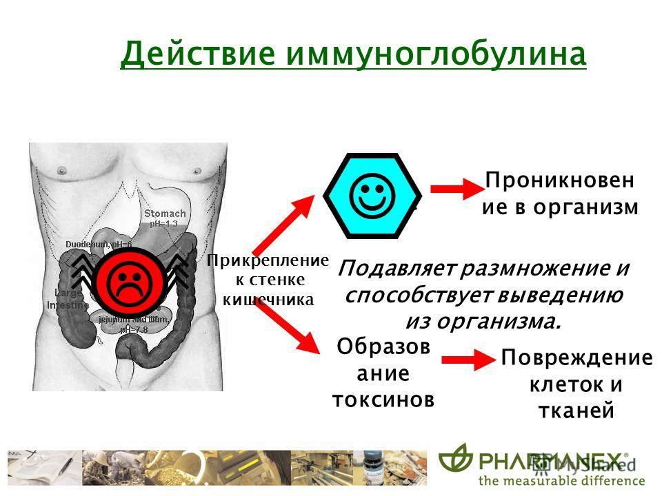 Grow colonize Подавляет размножение и способствует выведению из организма. Действие иммуноглобулина Прикрепление к стенке кишечника Проникновен ие в организм Образов ание токсинов Повреждение клеток и тканей