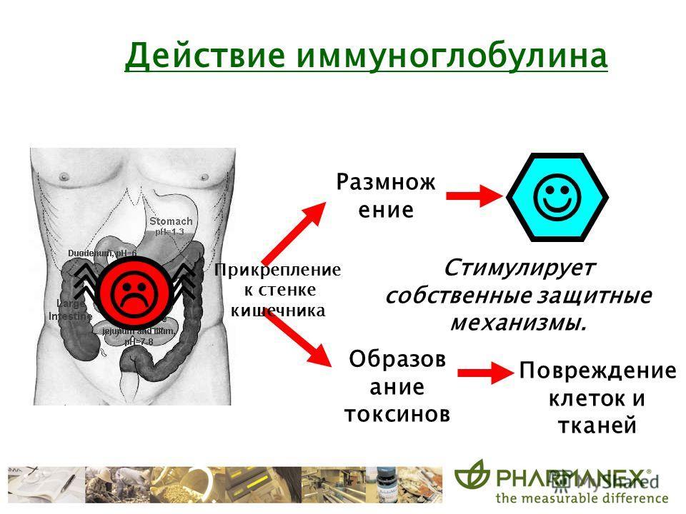 Размнож ение Enter body Образов ание токсинов Стимулирует собственные защитные механизмы. Действие иммуноглобулина Прикрепление к стенке кишечника Повреждение клеток и тканей