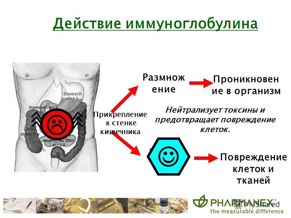 Размнож ение Produce toxins Нейтрализует токсины и предотвращает повреждение клеток. Прикрепление к стенке кишечника Проникновен ие в организм Повреждение клеток и тканей Действие иммуноглобулина