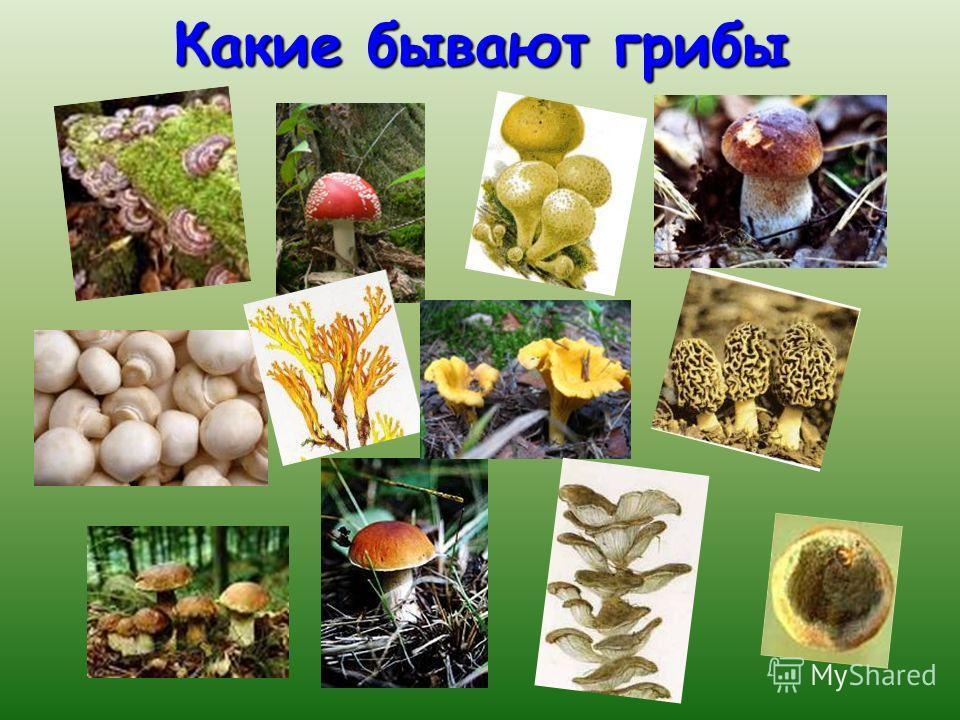 Где какие грибы искать Берёза – подберёзовик Берёза – подберёзовик Дуб (в бору) – боровик (белый гриб) Дуб (в бору) – боровик (белый гриб) Осина – подосиновик Осина – подосиновик Сосны – маслята Сосны – маслята Старые пни - опята Старые пни - опята