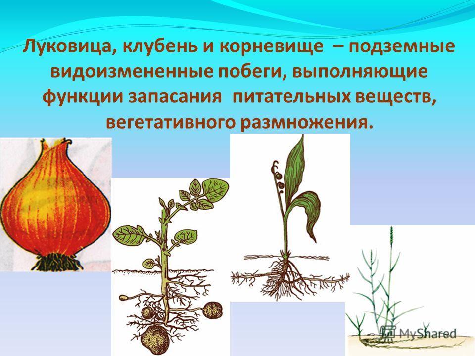 Луковица, клубень и корневище – подземные видоизмененные побеги, выполняющие функции запасания питательных веществ, вегетативного размножения.