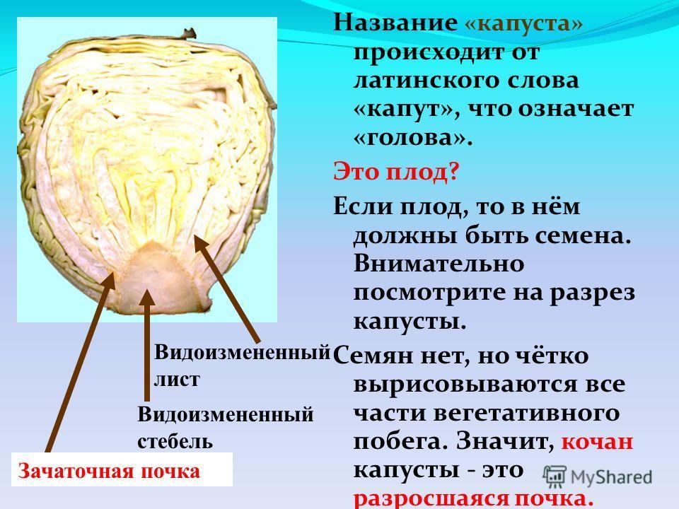 Название «капуста» происходит от латинского слова «капут», что означает «голова». Это плод? Если плод, то в нём должны быть семена. Внимательно посмотрите на разрез капусты. Семян нет, но чётко вырисовываются все части вегетативного побега. Значит, к