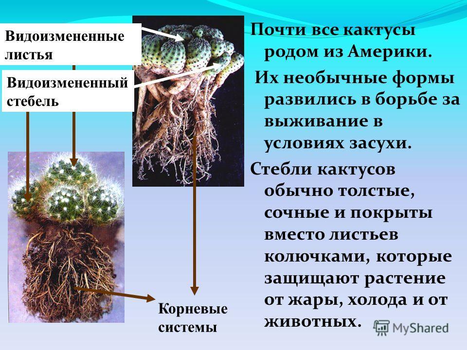 Почти все кактусы родом из Америки. Их необычные формы развились в борьбе за выживание в условиях засухи. Стебли кактусов обычно толстые, сочные и покрыты вместо листьев колючками, которые защищают растение от жары, холода и от животных. Видоизмененн