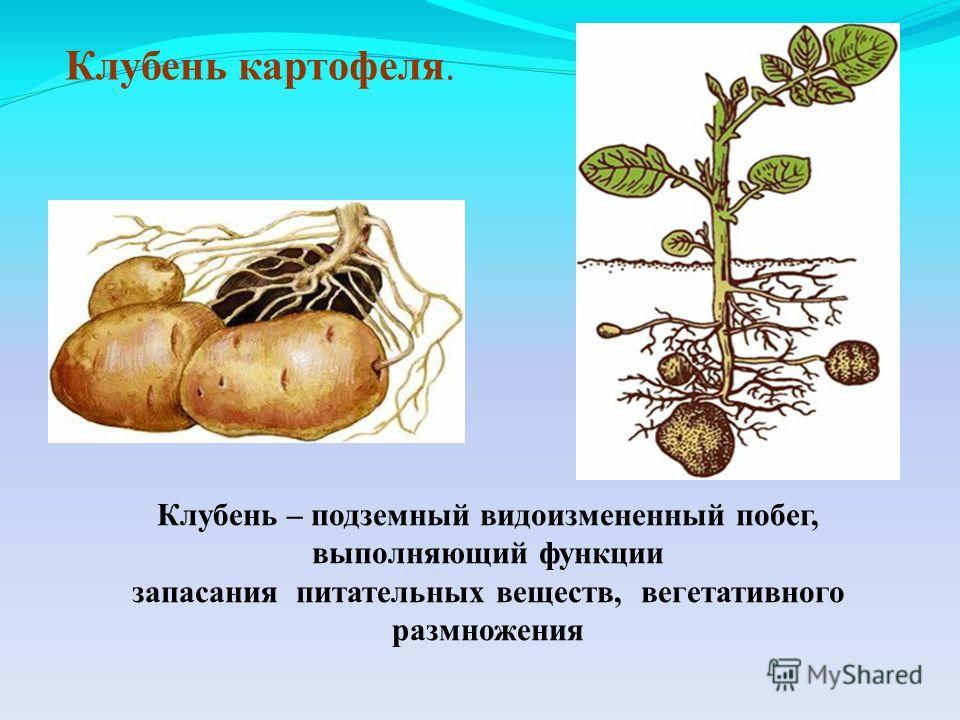 Клубень картофеля. Клубень – подземный видоизмененный побег, выполняющий функции запасания питательных веществ, вегетативного размножения